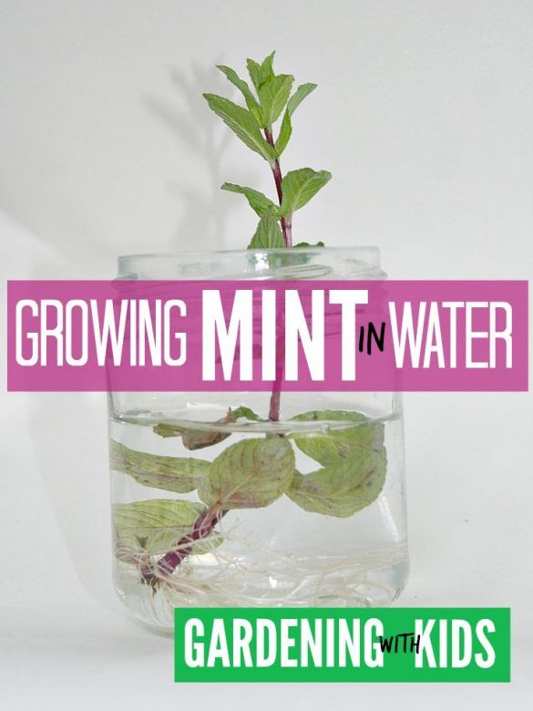 Kids Gardening Growing Mint in Water